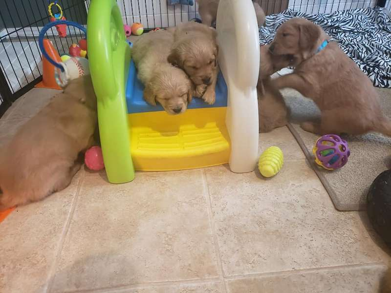 Five week old puppies - video